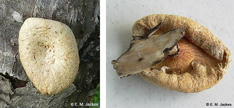 Images of Lentinus