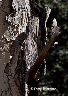 two camouflaged frogmouths