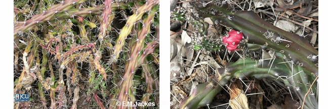 Images of Harrisia cactus
