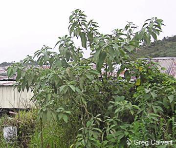 Image of Solanum mauritianum