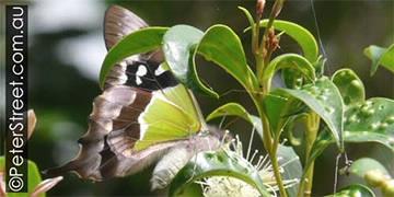 Image of Graphium macleayanus