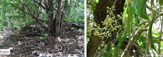 Images of Syzygium tierneyanum habit and flower buds