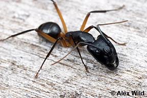 Image of Camponotus novaehollandiae
