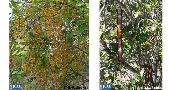 Two images of Cassia brewsteri