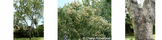 Images of Corymbia erythrophloia