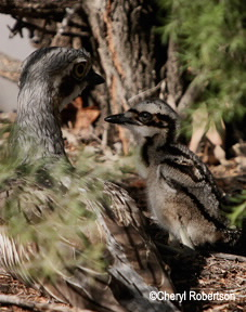 parent and  chick