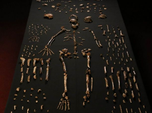 Hominid skeleton