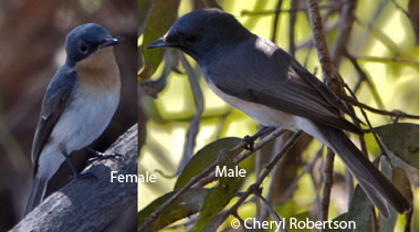 Leaden flycatcher  male and female