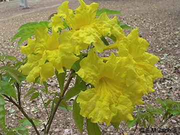 Image of yellow trumpet flower