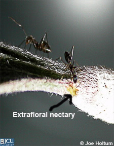 Image of ants and extrafloral nectary