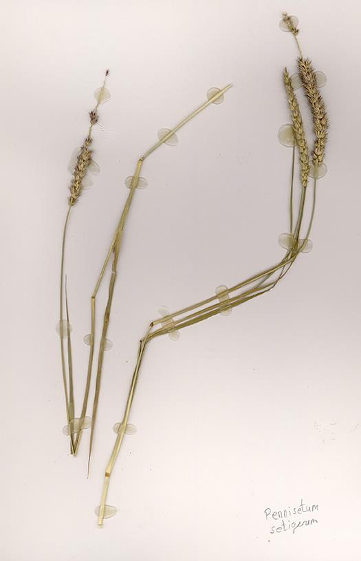 Scan of Pennisetum setigerum