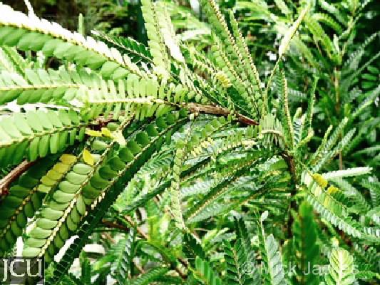 Phyllanthus lamprophyllus