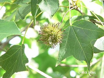 seed pod and leaf