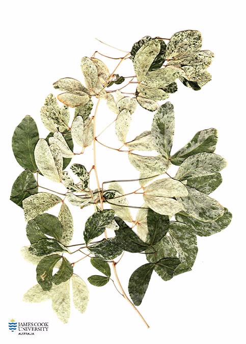 Scan of herbarium specimen of Pithecellobium
