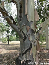 Image of the trunk of Corymbia