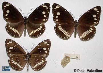 Image of Euploea core