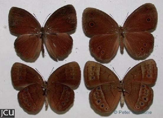 Mycalesis sirius