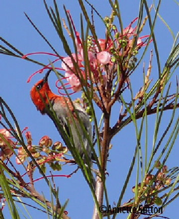 Scarlet honey eater in grevillea