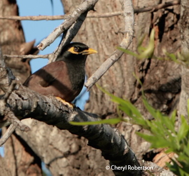 Common or Indian Myna
