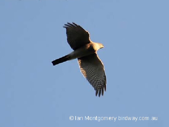 collared sparrowhawk on the wing