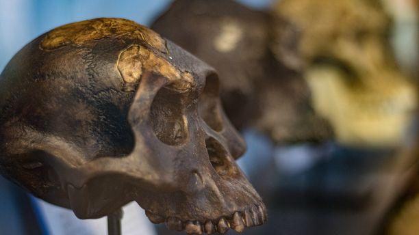 Fossil Hominid skulls