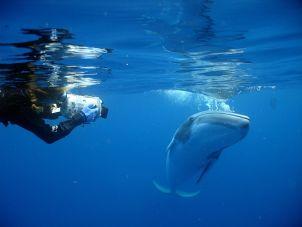 Photo of Dwarf Minke Whale Project