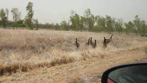 Emus in Mount Isa