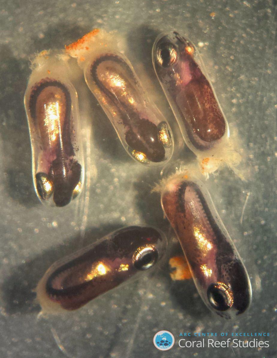Damselfish embryos