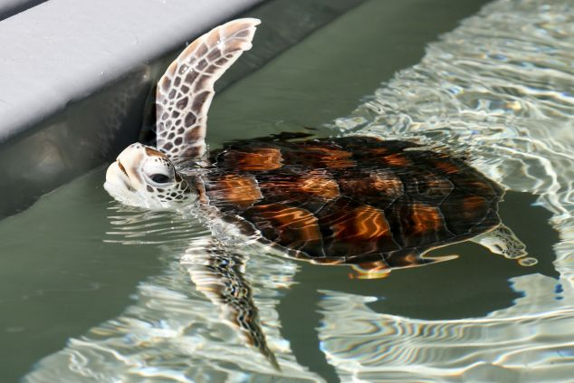 A baby turtle swimming in a tank, head slightly out of the water, one fin up
