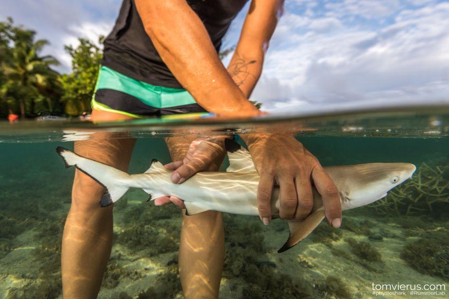 Moorea reef shark