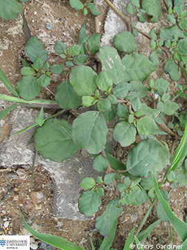 Image of Trianthema portulacastrum