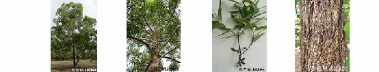 Images of Eucalyptus phoenicia