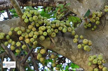 Image of Ficus variegata