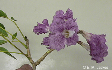 Image of flowers of T. rosea