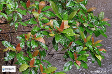 Image of Ficus congesta leaves