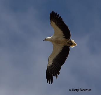 Sea eagle flying