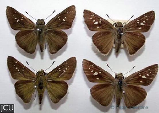 Pelopidas lyelli