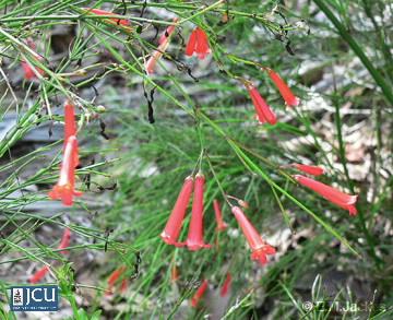 Image of Russellia equisetiformis