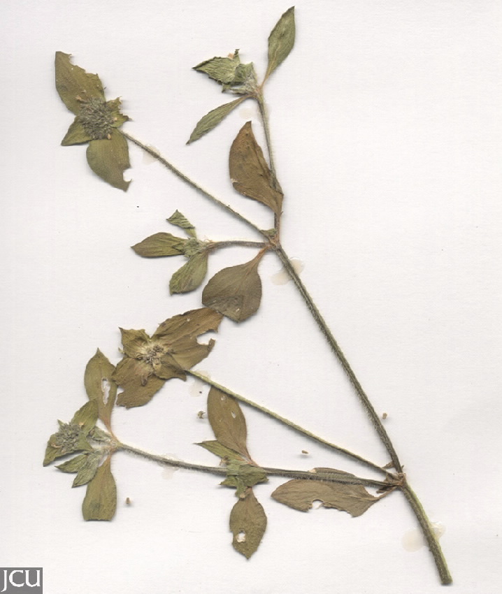 Richardia brasiliensis