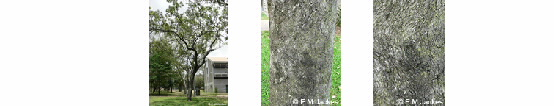Three images of Corymbia clarksoniana