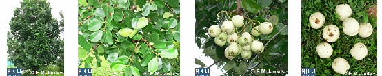Images of Syzygium forte