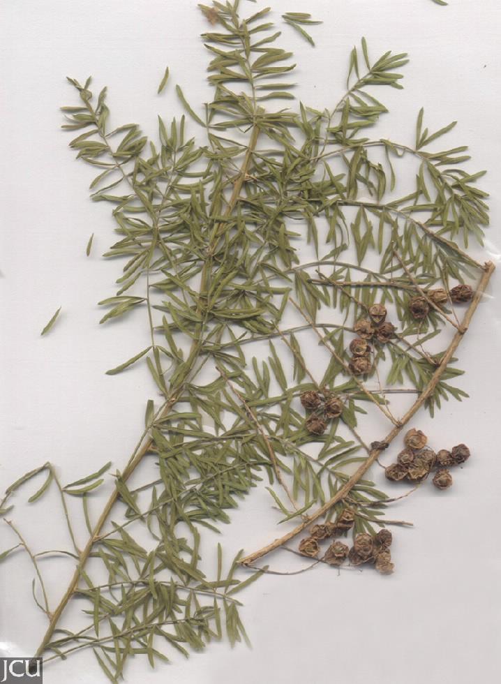 Asparagus aethiopicus cv Sprengeri