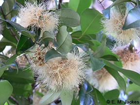 Image of Syzygium flowers