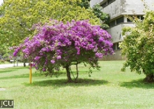 Bougainvillea spp.