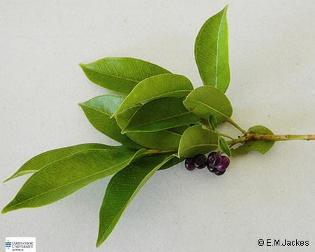 Image of Syzygium angophoroides