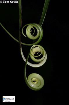 Image of Flagellaria tendrils