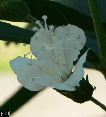 Hibiscus tozerensis