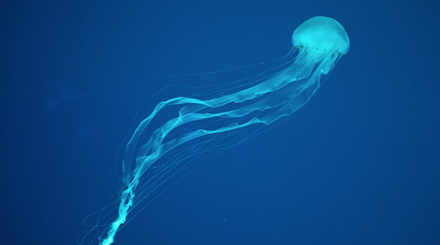 Large jelly fish, with long stingers, floating in deep blue water.
