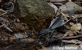 fantail drinking in Endeavour Creek