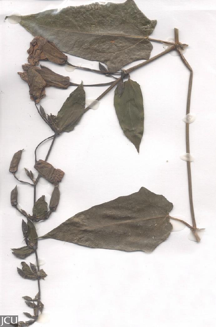 Thunbergia grandifolia
